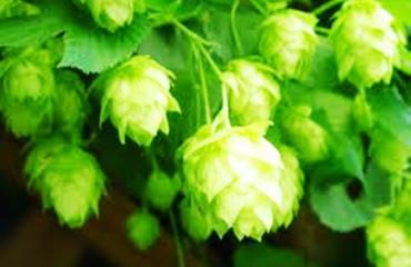 ビールの原料 ホップ