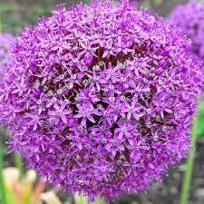 植物学10 Allium giganteum