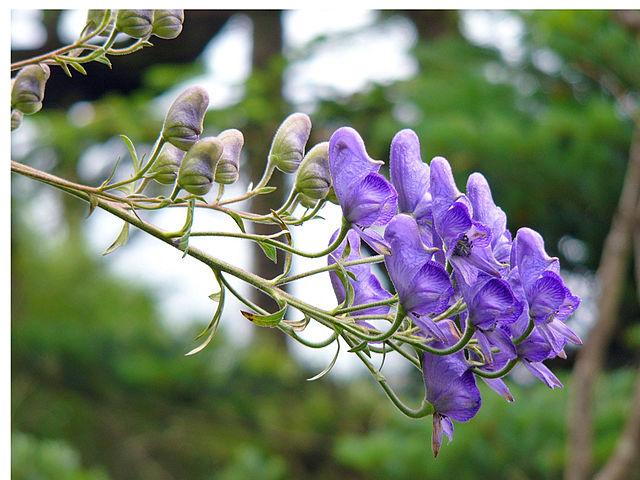 植物学4 Aconitum