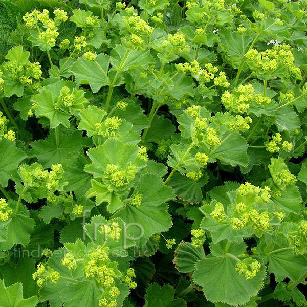 植物学9 Alchemilla mollis