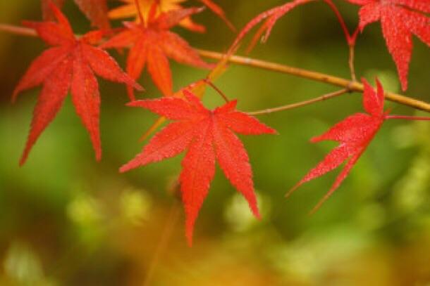 植物学3 Acer