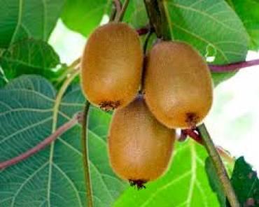 植物学6 Actinidia chinensis