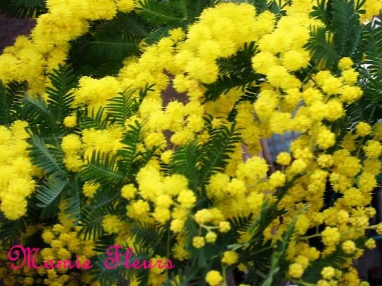 植物学1 Acacia dealbata