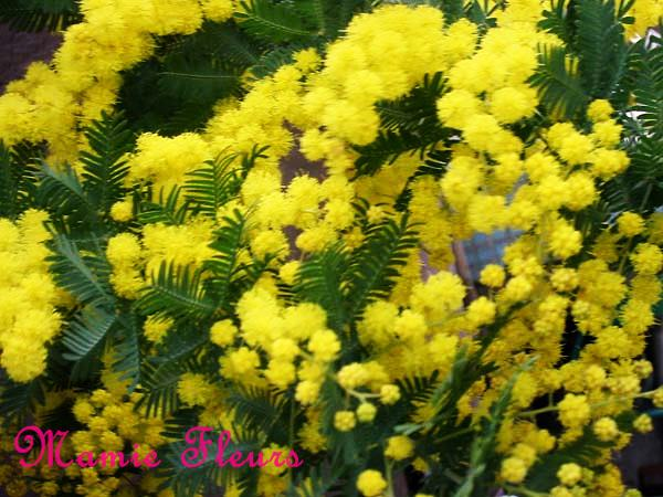 mimoza20150413