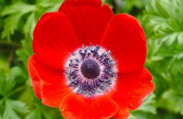 植物学19 Anemone coronaria