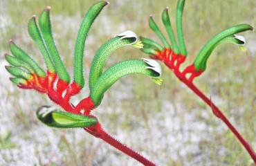 植物学20 anigozanthos manglesii