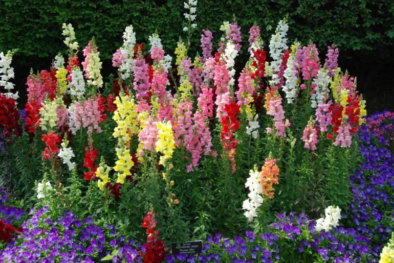 植物学22 Antirrhinum majus