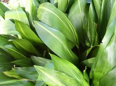 植物学33 Aspidistra elatior