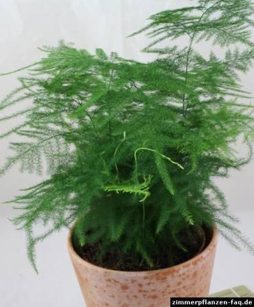 植物学31 Asparagus setaceus plumosusu