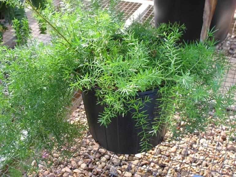 植物学29 Asparagus densiflorus sprengeri